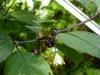 Purple Cream - små frugter