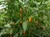 Orange Glow - flere frugter