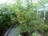 Orange Glow - fuld størrelse plante