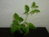 Rocoto Guatemala Orange - 12 uger