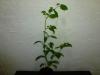 Rocoto Guatemala Orange - 15 uger