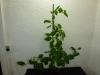 Rocoto Guatemala Orange - 18 uger