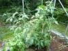 Rocoto Guatemala Orange - 27 uger