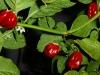 7pot Burgundy - flere frugter