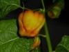 7pot Burgundy Modningsfarver 3