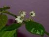 Aji Dulce Amarillo - blomst