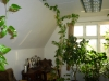 Aji Dulce Amarillo - fuldvoksen plante