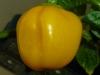 Aji Dulce Amarillo - helt moden frugt