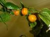 Aji Dulce Amarillo - modne frugter