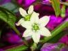 Aji Dulce - blomst med lille frugt