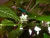 Aji Dulce - blomst
