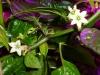 Aji Dulce - blomster med frugter