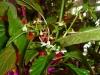 Aji Dulce - flere blomster