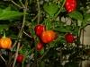 Aji Dulce - frugter på vej 1