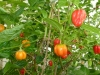 Aji Dulce - frugter på vej 2