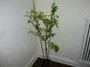 Aji Dulce - voksen plante