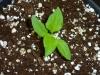Bhut Jolokia Chocolate - 3 uger