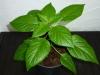 Bhut Jolokia Chocolate - 9 uger