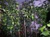 Bhut Jolokia Chocolate - fuld størrelse plante