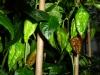 Bhut Jolokia Chocolate - umodne frugter 2