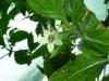 Bhut Jolokia Chocolate - blomst
