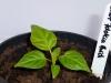 Bhut Jolokia White - plante 1 - 12 uger