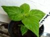 Bhut Jolokia White - plante 1 - 15 uger