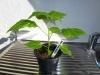Bhut Jolokia White - plante 1 - 18 uger