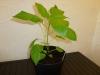 Bhut Jolokia White - plante 1 - 21 uger
