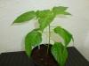 Bhut Jolokia White - plante 1 - 24 uger