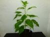 Bhut Jolokia White - plante 1 - 27 uger