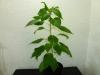 Bhut Jolokia White - plante 1 - 30 uger