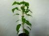 Bhut Jolokia White - plante 1 - 33 uger