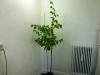 Bhut Jolokia White - plante 1 - udvoksen plante