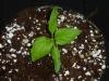 Bhut Jolokia x Habanero Chocolate - 3 uger