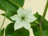 Cacho Negro - blomst 2