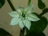 Cacho Negro - blomst