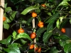 CGN 21566 - frugter på plante