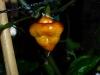 CGN 21566 - modnende frugt