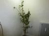 CGN 21566 - voksen plante