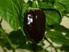 Habanero Black - moden frugt