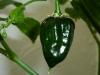 Habanero Black - umoden frugt