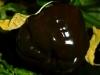 Habanero Black - moden frugt med sjov form