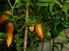 Habanero Black - umodne frugter