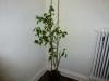 Habanero Black - voksen plante