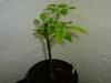 Habanero Chocolate - 9 uger