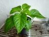 Habanero Chocolate - 15 uger