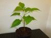 Habanero Chocolate - 21 uger