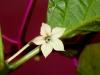 Habanero Chocolate - blomst