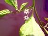 Habanero Chocolate - blomster